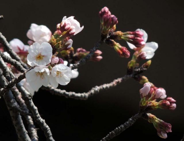03.28桜.jpg